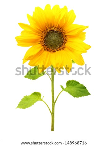 Sunflower plant isolated on white background. - stock photo