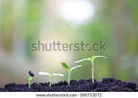 sunflower plants growing  - stock photo