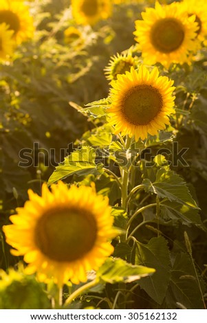 Sunflower rows in the field close-up at sunset - stock photo
