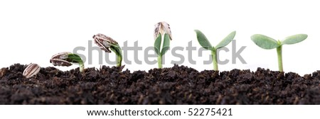 sunflower seed germination different stages isolated on white - stock photo
