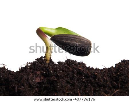 Sunflower seeds germination on white background - stock photo