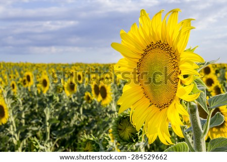 Sunflower, Species, Helianthus annuus, crop landscape, Andalusia. Southern Spain. The sunflower is an annual plant grown as a popular crop for its edible oil and edible fruits. - stock photo
