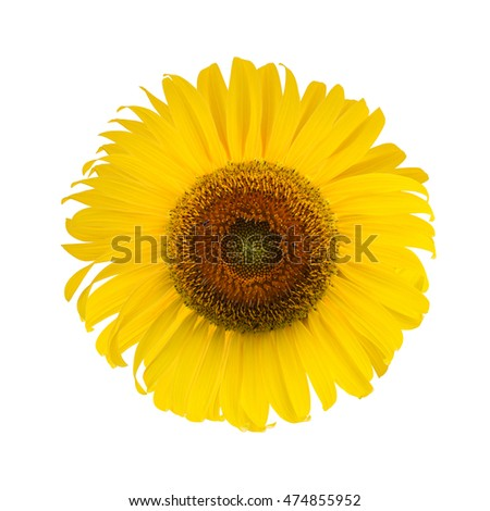 Sunflower. sunflower blooming isolated on white background. clipping path.
