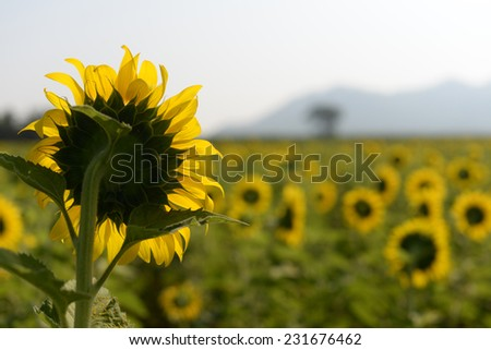 Sunflower sunflower fields in the central area of the country. - stock photo