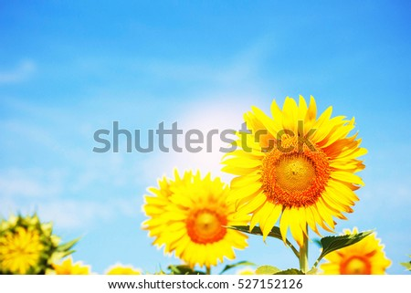 Sunflower with a beautiful at the blue sky.