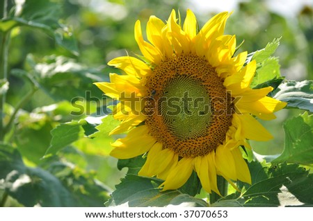 sunflower with a bee - stock photo