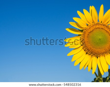 Sunflower with a sky background.
