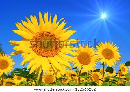 sunflower with blue sky and beautiful sun / sunflower - stock photo