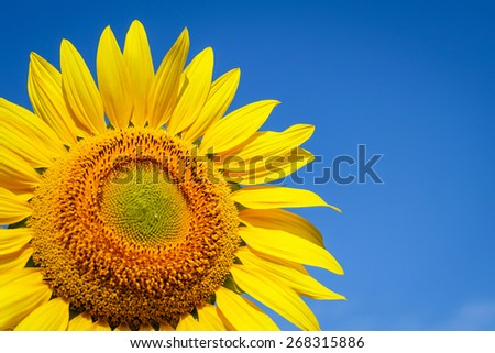 Sunflower with blue sky,sunflower in nature - stock photo