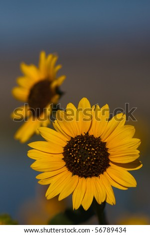 Sunflower with Blurred Background and Room for Text Above