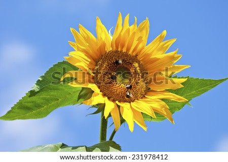 Sunflower with bumblebees, close up - stock photo
