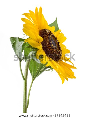 sunflower with green leaves. Isolated over white background - stock photo