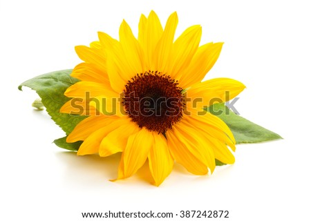 Sunflower  with leaves isolated on white background.  - stock photo