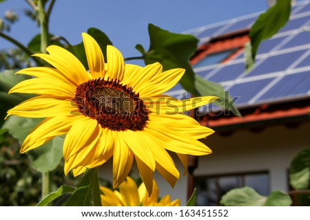 Sunflower with solar background - stock photo