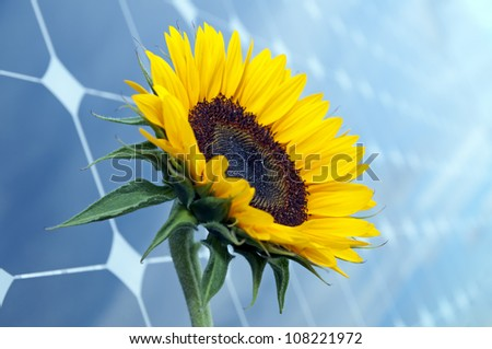 Sunflower with solar panels in the background - stock photo