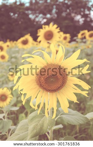 sunflower with vintage style - stock photo