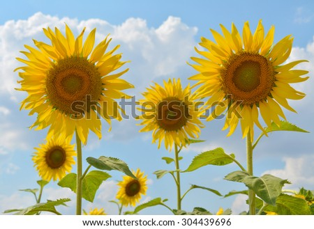 sunflowers against the blue sky of Thailand