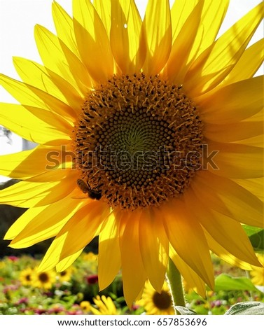 Sunflower Roots Stock Images Royalty Free Images
