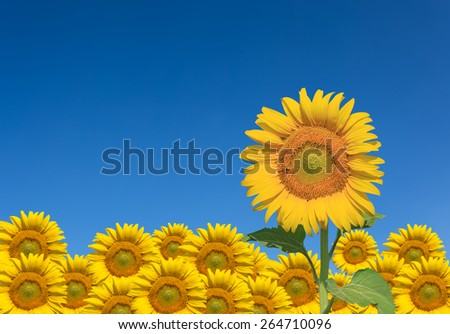sunflowers and blue sky - stock photo