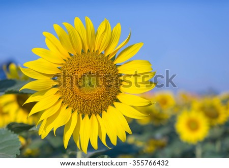 Sunflowers blooming against a bright sky - stock photo