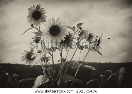 Sunflowers blooming in the field in black and white. - stock photo