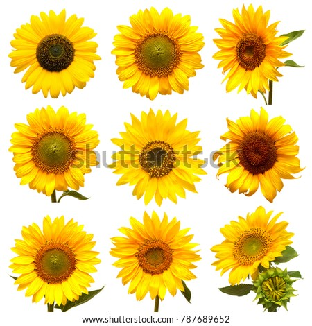 Sunflowers collection on the white background. Yellow flower. Seeds oil. Flat lay, top view