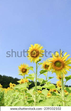 sunflowers color background yellow nature summer sky sun beauty