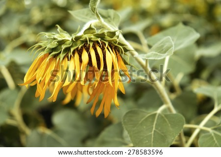 Sunflowers droop - stock photo