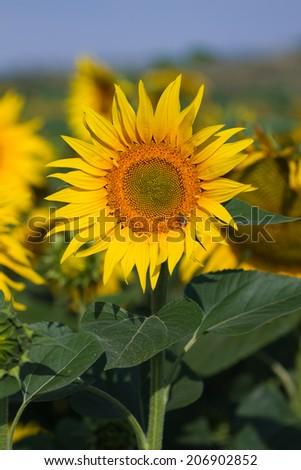 Sunflowers field - stock photo