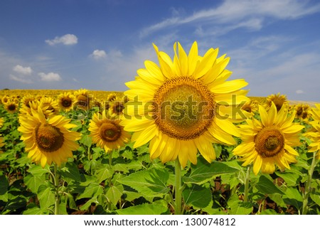 Sunflowers field in summer, in Central Italy, under blue sky - stock photo