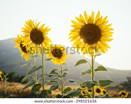 Sunflowers field outdoor with mountain view Sunlight Summer background