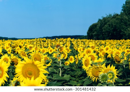 Sunflowers field over cloudy blue sky