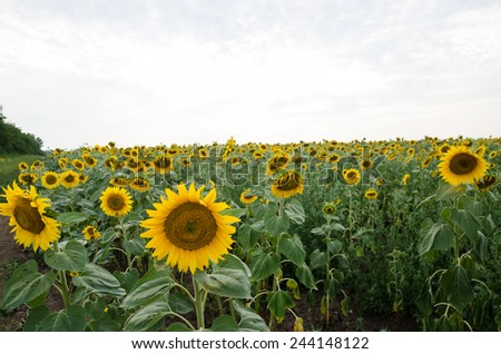 sunflowers field, selective focus on single sunflower with ladybug on it - stock photo