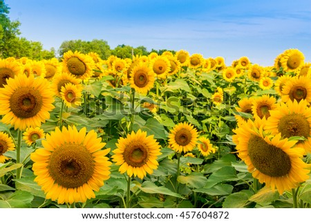 Sunflowers field, summer landscape