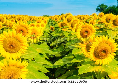 Sunflowers field, summer natural background, countryside landscape.