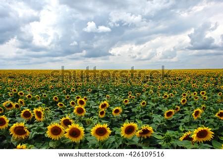 Sunflowers field under cloudy sky              - stock photo
