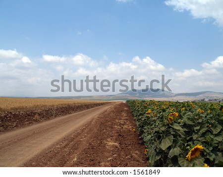 Sunflowers field with bright blue sky straight from ISRAEL - stock photo