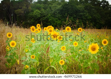 Sunflowers field with forest background.