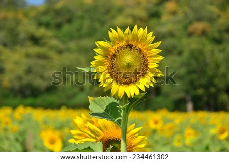 sunflowers flowers green yellow background