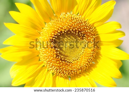 sunflowers flowers yellow background nature green