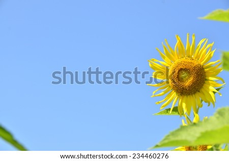 sunflowers flowers yellow green background
