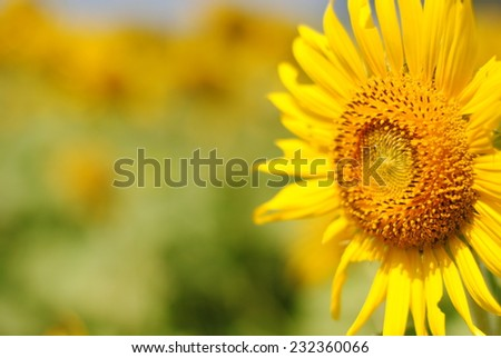 sunflowers flowers yellow green background nature - stock photo