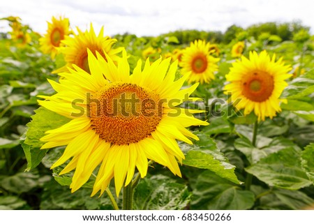 Sunflowers garden. Sunflowers have abundant health benefits. Sunflower oil improves skin health and promote cell regeneration.