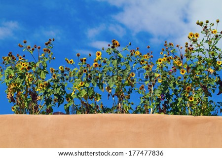 Sunflowers grow on the roof of a pueblo revival-style building in Santa Fe, New Mexico - stock photo