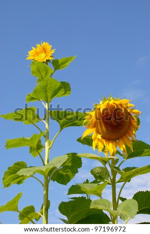 Sunflowers have always come in different sizes - stock photo