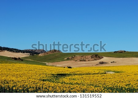 Sunflowers in field, Near Almargen, Malaga Province, Andalusia, Spain, Western Europe. - stock photo