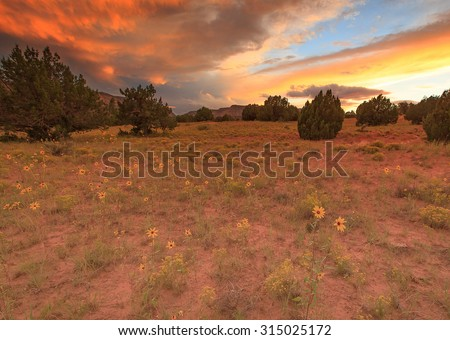 Sunflowers in the Escalante desert, Utah, USA. - stock photo