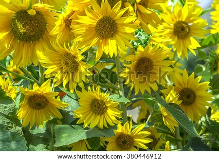 Sunflowers in the sunshine with dozens of loud sunflower blooming yellow as the sun shines on the ground, these are flowers always look for the sun as the belief in a brighter day. - stock photo
