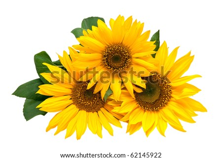 Sunflowers, isolated on a white background. - stock photo
