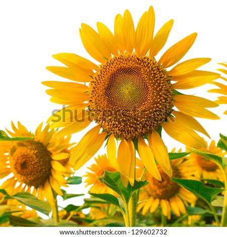 Sunflowers isolated on white background with clipping path - stock photo